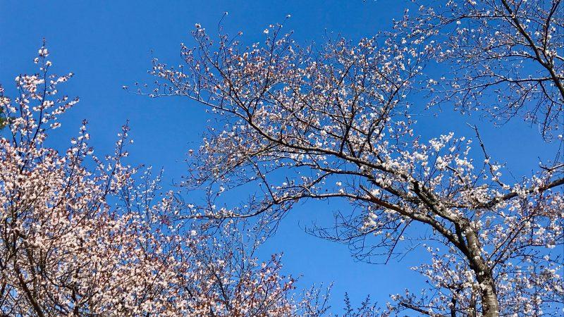 GEN-TENゴルフコースレッスン高坂カントリークラブ桜